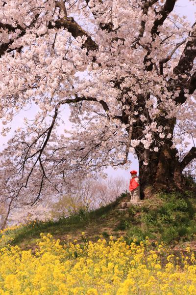 日向の人待地蔵桜 4月22日の様子