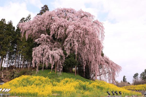 合戦場の桜 4月22日の様子