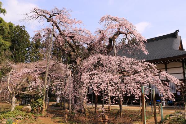 愛蔵寺 4月22日の様子