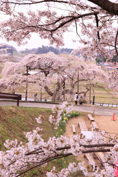 中島の地蔵桜 4月22日の様子