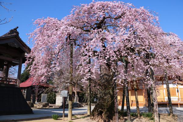 円東寺 4月16日の様子