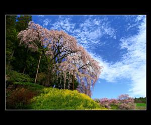 「合戦場のしだれ桜」部門最優秀賞:春うらら