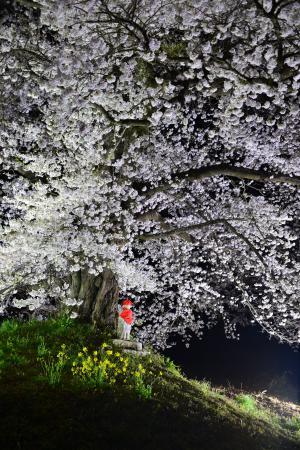 「桜一般」部門最優秀賞:日向の人待ち地蔵桜2