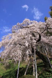 鏡石寺の桜