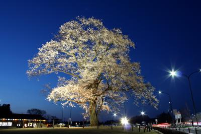 「桜」部門優秀賞 夜空に映える万燈桜