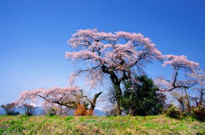 「桜」部門入選 飛翔の季