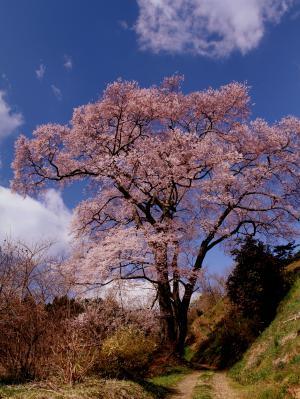 「桜」部門入選 長橋の桜