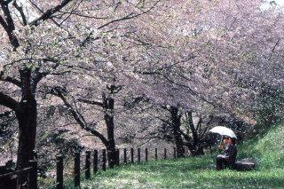 「桜」部門 春風