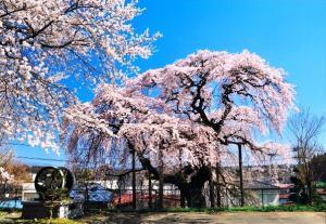 「桜」部門 油井小の桜