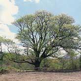 片倉のナシの木