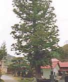 長泉寺のゆうれい杉
