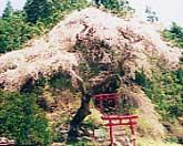 立石稲荷のしだれ桜