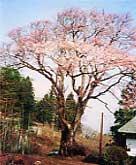 山中の伊三郎桜