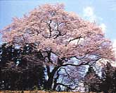 箱石の追猪の桜