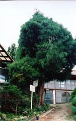 菅田の糸ヒバ