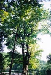 八幡神社のモミジ