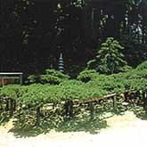 西念寺の臥龍の松