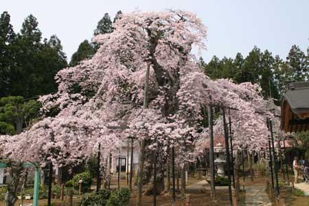 愛蔵寺の護摩ザクラ01