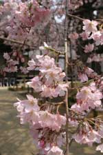 愛蔵寺の護摩ザクラ02