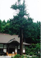 最勝寺のコウヤマキ