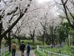 遊歩道の桜(平成27年度)