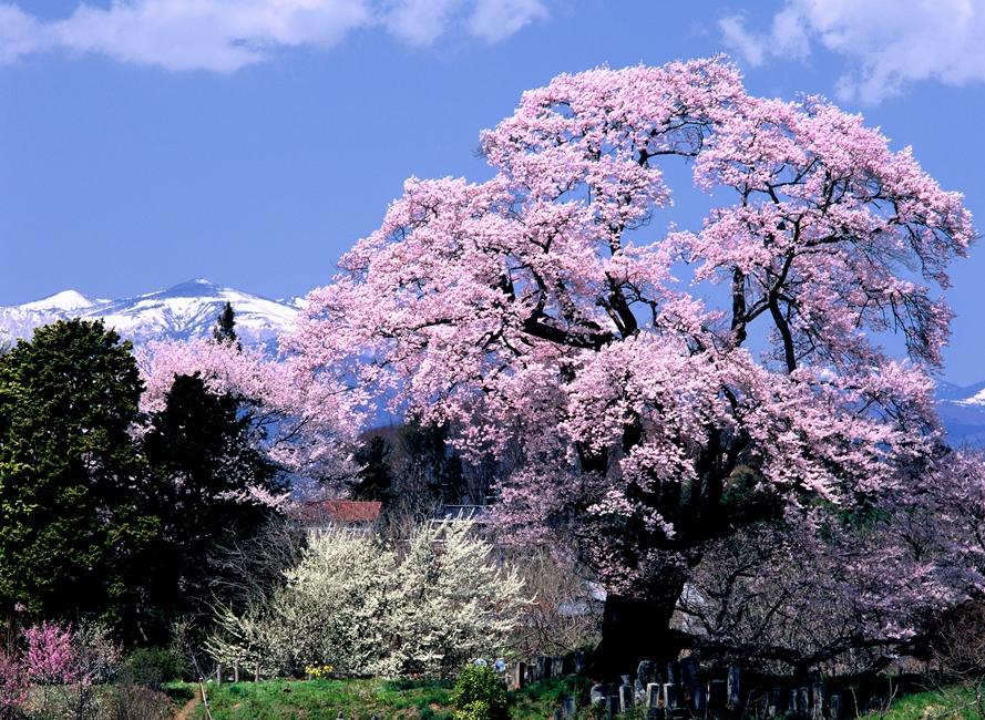 Shionozaki no Ozakura