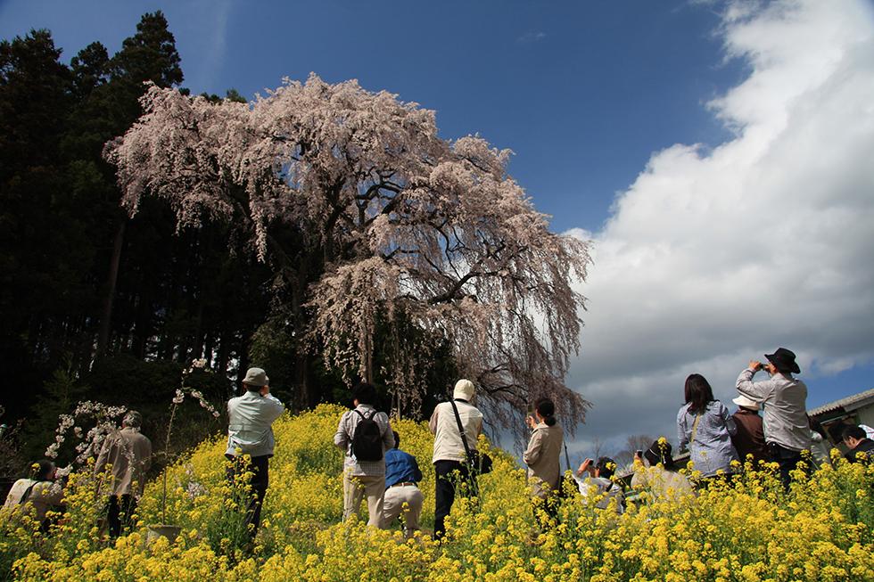 06交戰戰場的垂枝櫻樹