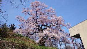 03 茶園の桜