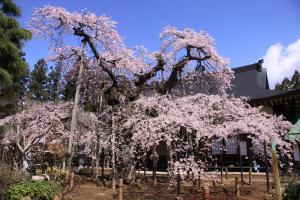 11 愛蔵寺の護摩ザクラ01
