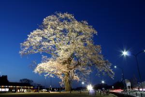 12 万燈桜01