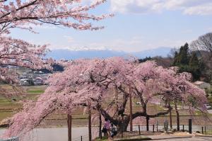 13 中島の地蔵桜01