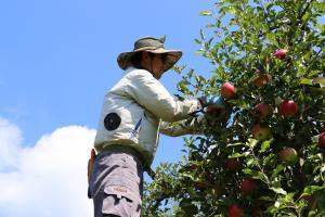 りんご農家1