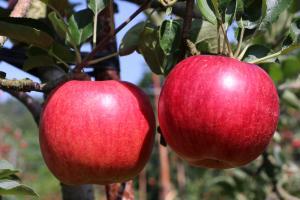 りんご農家2