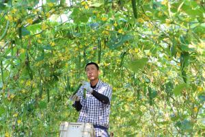 きゅうり農家3