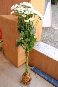 菊人形に付けられる菊の株