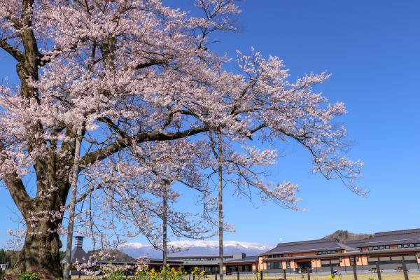 20200403万燈桜