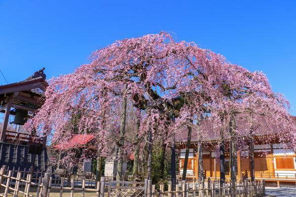 20200403円東寺の桜01