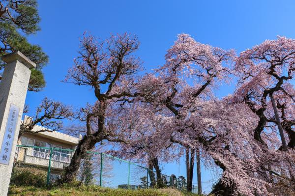 20200403油井小学校の桜