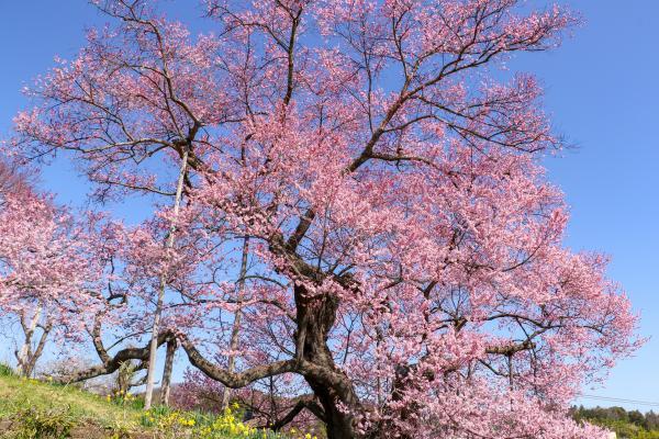 20200403茶園の桜