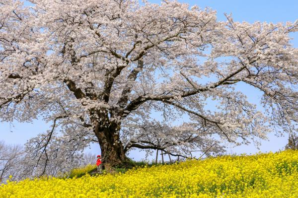 20200415日向の人待ち地蔵桜