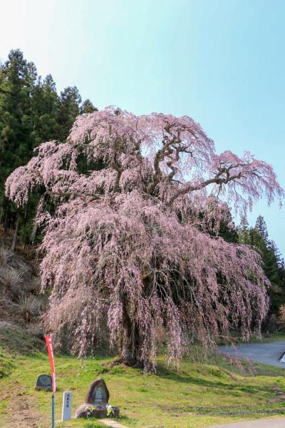 20200415福田寺の糸桜