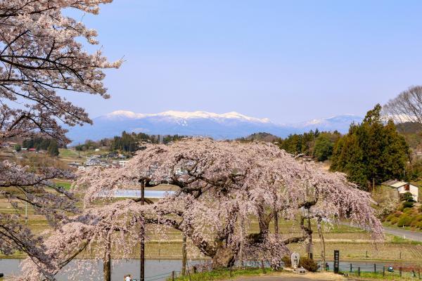 20200415中島の地蔵桜