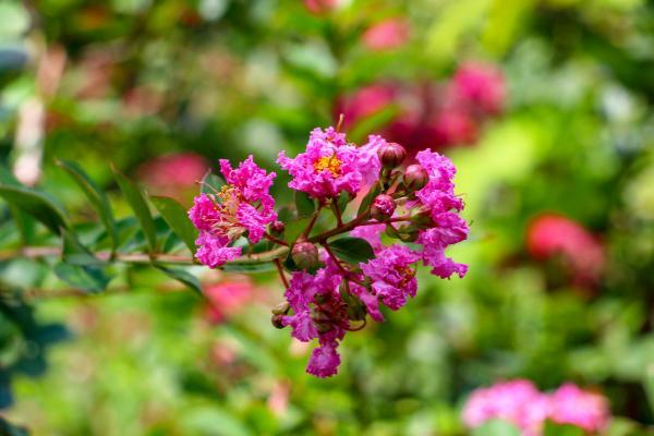 東和サルスベリ園03 鮮やかなピンク色の花