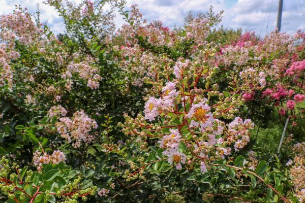 東和サルスベリ園06 白い花