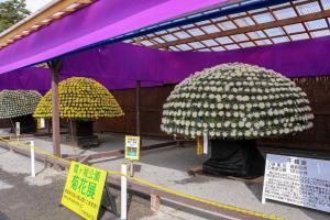 菊花展に展示された千輪咲