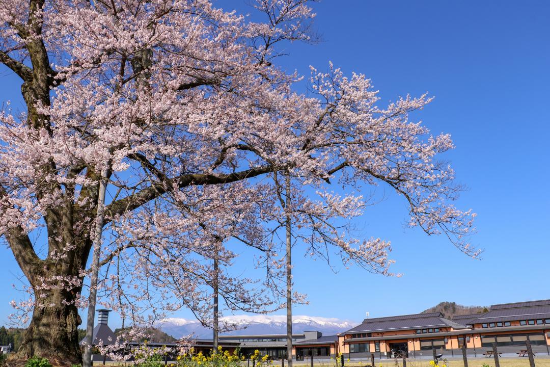 2020万燈桜